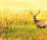 Two Mule Deer Bucks Alert In A Meadow