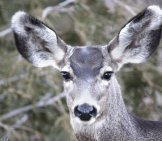 Portrait Of A Mule Deer Doe