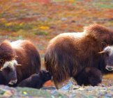 "Two Musk Ox Cows With Their Calves Photo By: Gregory ""slobirdr"" Smith Https://creativecommons.org/licenses/by-Sa/2.0/"
