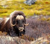 Beautiful Musk Ox In A Meadow Photo By: (C) Indukas Www.fotosearch.com