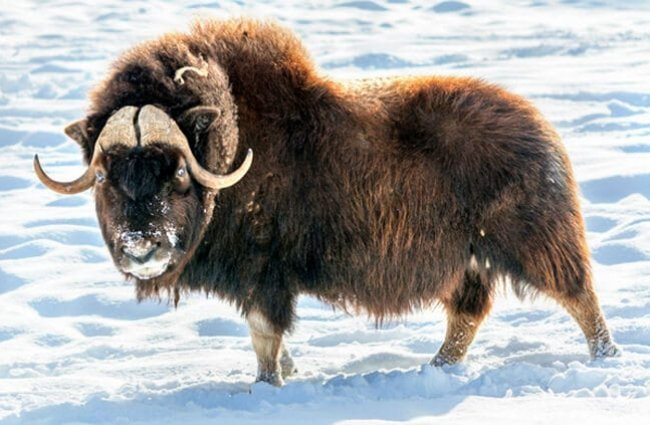 The Musk Ox is both majestic and imposingPhoto by: (c) Fitawoman www.fotosearch.com