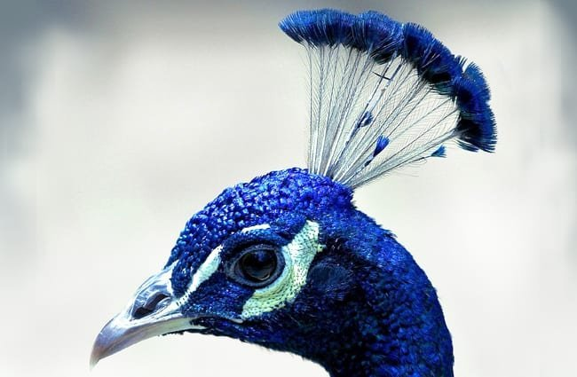 Peacock selfie! Photo by: skeeze, Public Domain //pixabay.com/photos/peacock-head-profile-plume-blue-1393082/