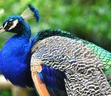 Peacock In Profile Photo By: Skeeze, Public Domain //pixabay.com/photos/peacock-Profile-Peafowl-Feather-1448427/