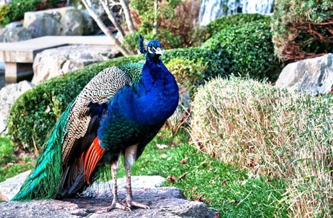 Peacock on a sidewalk Photo by: garageband, Public Domain //pixabay.com/photos/bird-peafowl-peacock-wildlife-1980493/