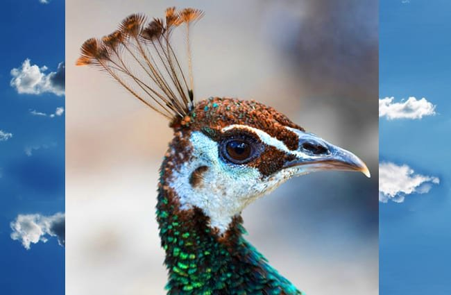 Closeup of a Peacock's head Photo by: Jean van der Meulen, Public Domain //pixabay.com/photos/peacock-bird-animal-head-blue-3200056/
