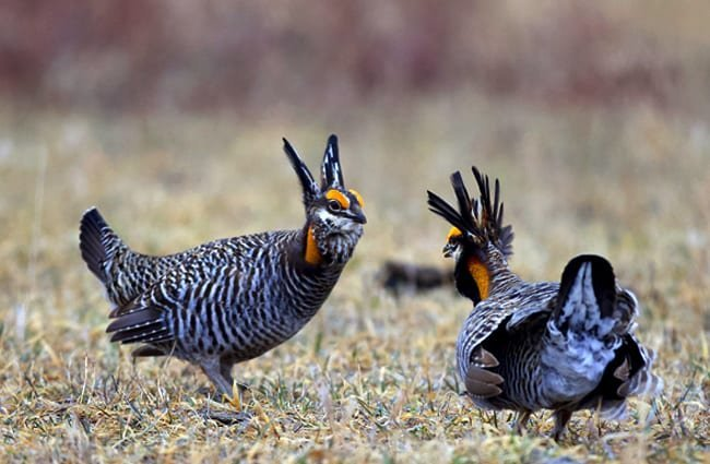 "Greater Prairie Chicken, courtship display Photo by: Gregory ""Slobirdr"" Smith https://creativecommons.org/licenses/by-sa/2.0/"