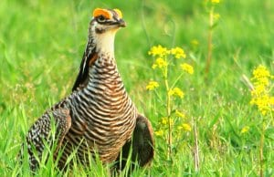 Portrait of a beautiful Greater Prairie ChickenPhoto by: Andy Reago & Chrissy McClarrenhttps://creativecommons.org/licenses/by-sa/2.0/