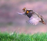 Prairie Chicken Taking Flight Photo By: Andy Reago & Chrissy Mcclarren Https://creativecommons.org/licenses/by-Sa/2.0/