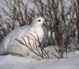 Ptarmigan In Her Winter Plummagephoto By: (C) Natureguy Www.fotosearch.com