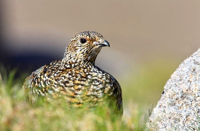 Rock Ptarmigan, photographed in ScotlandPhoto by: (c) mikelane45 www.fotosearch.com