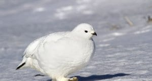 Female Rock Ptarmigan strolling through the tundra on a sunny winter dayPhoto by: (c) pilipenkoD www.fotosearch.com