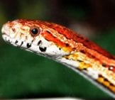Corn Snake (Red Rat Snake) Photo By: Zoosnow Pd Https://pixabay.com/users/zoosnow-3355789/