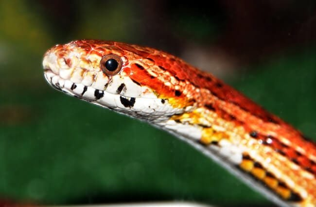 Corn Snake (red Rat Snake) Photo by: zoosnow PD //pixabay.com/users/zoosnow-3355789/