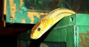 Yellow Rat Snake climbing out of a boxPhoto by: sandrapetersenPD //pixabay.com/users/sandrapetersen-1630624