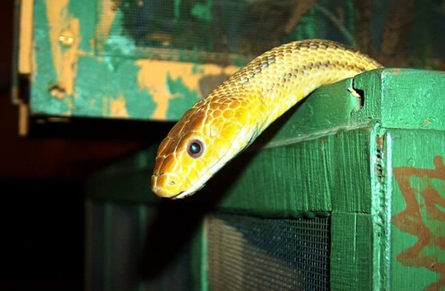 Yellow Rat Snake climbing out of a boxPhoto by: sandrapetersenPD https://pixabay.com/users/sandrapetersen-1630624