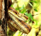 Yellow Rat Snake Hanging On A Tree Photo By: Marc Barrison //creativecommons.org/licenses/by-Sa/2.0/