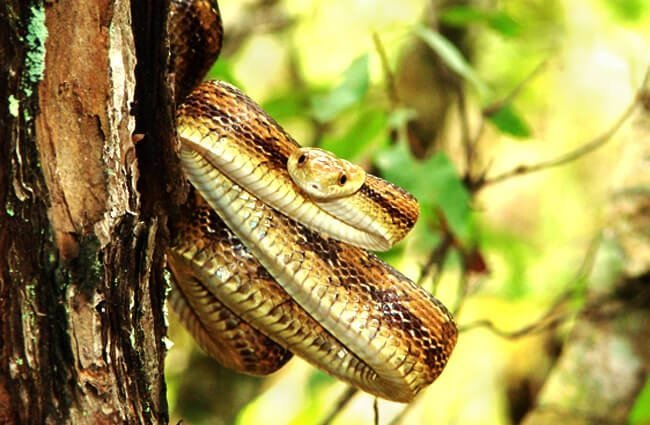 Yellow Rat Snake hanging on a tree Photo by: Marc Barrison https://creativecommons.org/licenses/by-sa/2.0/