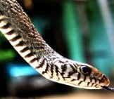 Rat Snake Photo By: Chandan Singh Https://creativecommons.org/licenses/by-Sa/2.0/