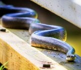 Black Rat Snake Cuyahoga Valley National Park, Brecksville, Oh Photo By: Kevin Vance Https://creativecommons.org/licenses/by-Sa/2.0/