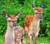 A Pair Of Red Deer Fawns