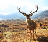 Red Deer Stag Posing For A Pic