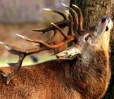 Red Deer Stag Rubbing The Velvet Off His Antlers
