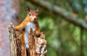 Cute little Red Squirrel watching from a tree stump