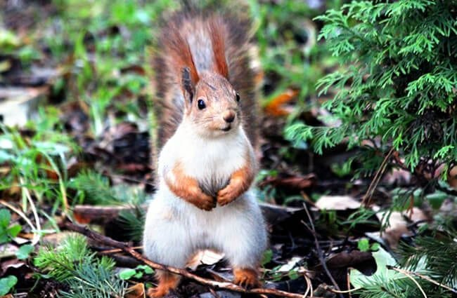 Red Squirrel posing for a pic in the park