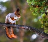 Red Squirrel Balanced On A Small Branch