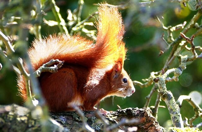 Red Squirrel in profile - notice his stunning tail