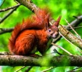 Deeply-Colored Red Squirrel Checking Out The Camera From His Lofty Perch.