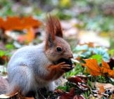 Lunch Break! This Cute Red Squirrel Is Eating A Nut.