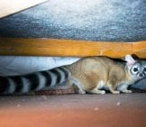 Ringtail Cat In The Crawlspace Photo By: Pixelfugue Cc By 3.0 //creativecommons.org/licenses/by/3.0