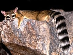 Ringtail lounging on a flat rockPhoto by: © RobertbodyCC BY-SA 3.0 //creativecommons.org/licenses/by-sa/3.0/deed.en