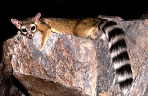 Ringtail lounging on a flat rockPhoto by: © RobertbodyCC BY-SA 3.0 https://creativecommons.org/licenses/by-sa/3.0/deed.en