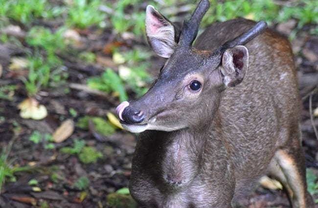 Closeup of a Sambar Photo by: Toby Humby, Pixabay https://pixabay.com/photos/deer-sambar-deer-sambar-borneo-4029779/