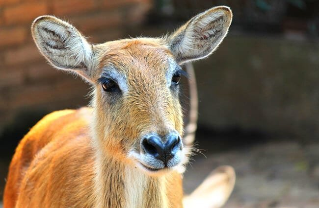 Female Sambar Photo by: Musthaq Nazeer, Pixabay //pixabay.com/photos/sambar-deer-animal-mammal-brown-250667/
