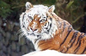 Stunning Siberian Tiger dusted with snow