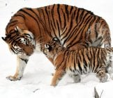 Siberian Tiger And Her Cub In The Snow