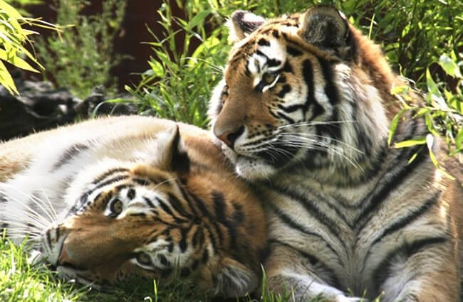 A pair of Siberian Tigers taking an afternoon nap