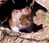 Cute Tiny Vole Peeking Out From Its Denphoto By: Wildlife By Pete Welsh//creativecommons.org/licenses/by-Nd/2.0/