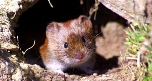 Cute tiny Vole peeking out from its denPhoto by: Wildlife by Pete Welshhttps://creativecommons.org/licenses/by-nd/2.0/