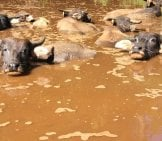 A Herd Of Water Buffalo Relaxing In Muddy Waters