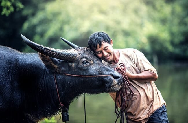 Working Water Buffalo enjoying a hug from its human