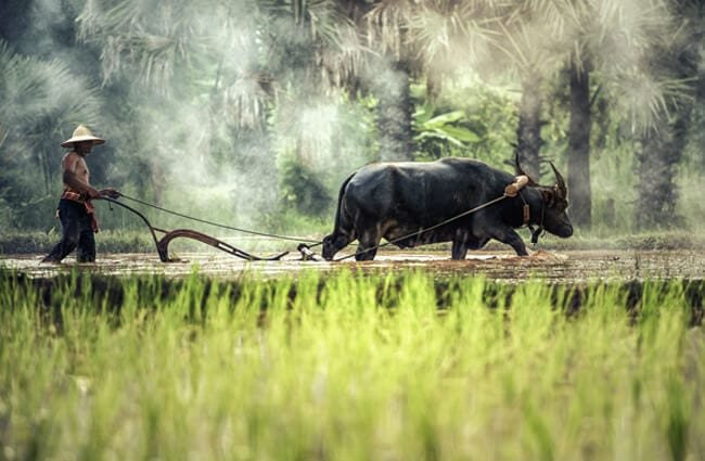 Domestic Water Buffalo plowing a rice paddy