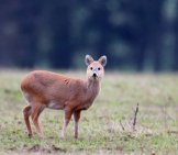 The Diminutive Chinese Water Deer Photo By: (C) Mikelane45 Www.fotosearch.com