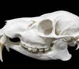 Skull Of A Water Deer - Notice Its Small Tusks Photo By: (C) Belizar Www.fotosearch.com