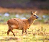 Water Deer Alert For Predators, Chinese Water Deer Photo By: (C) Mikelane45 Www.fotosearch.com