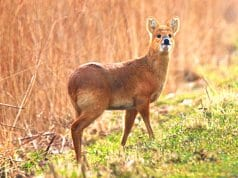 Water Deer pausing for a picPhoto by: nick goodrum//creativecommons.org/licenses/by/2.0/