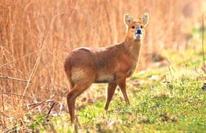 Water Deer pausing for a picPhoto by: nick goodrumhttps://creativecommons.org/licenses/by/2.0/